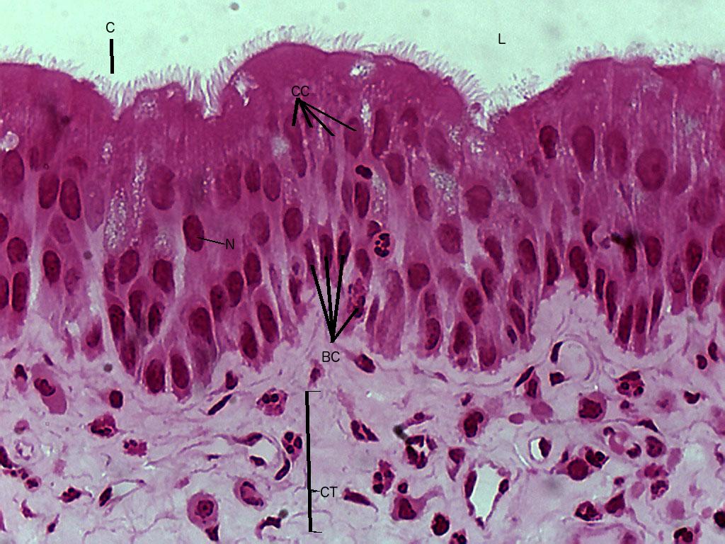 Lab 2 Epithelial tissue | Histology