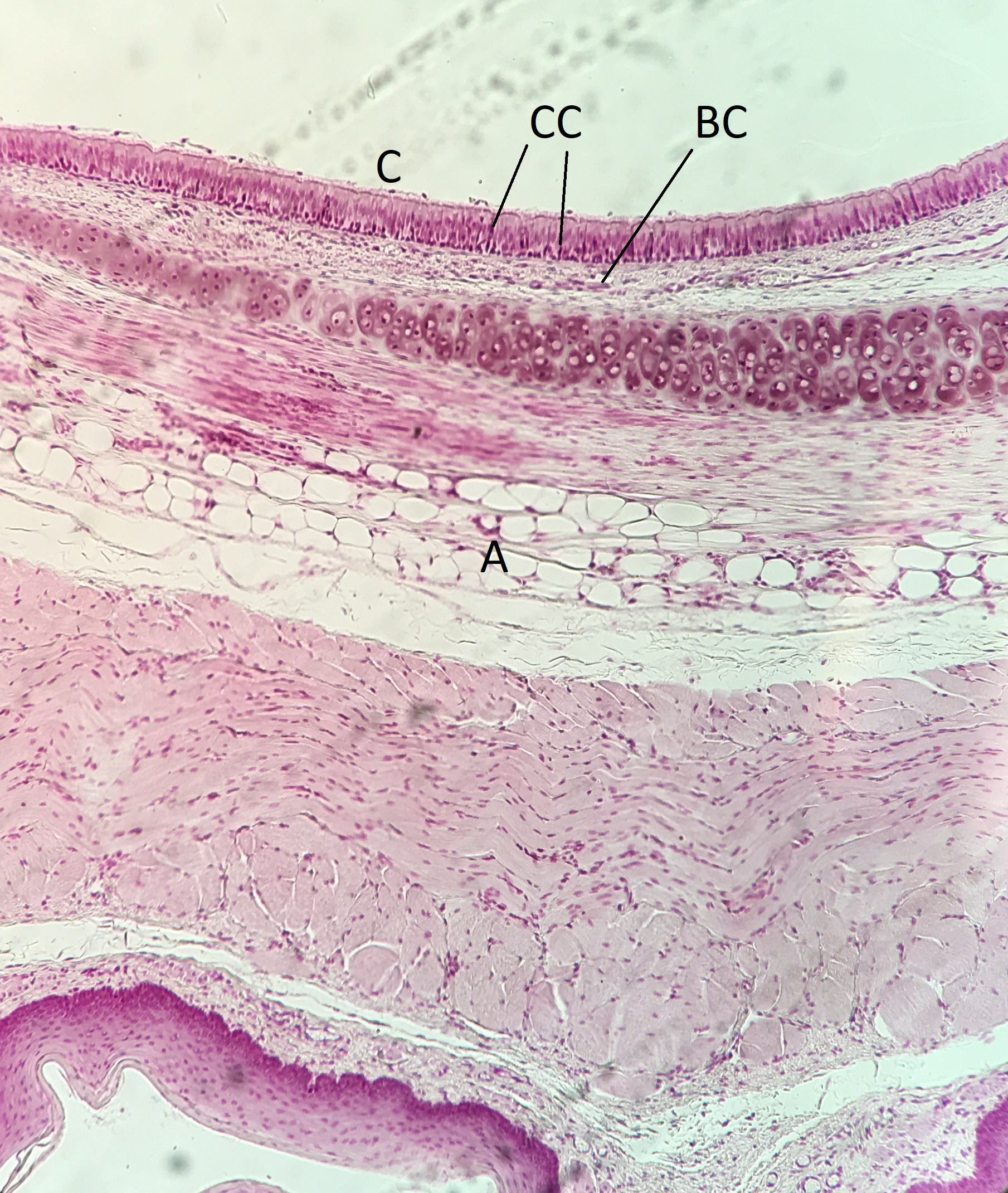 Lab 2 Epithelial Tissue Histology